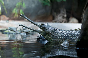 Critically Endangered Indian Gavial at the Prague Zoo