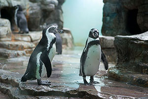 The Popular Penguins at the Prague Zoo